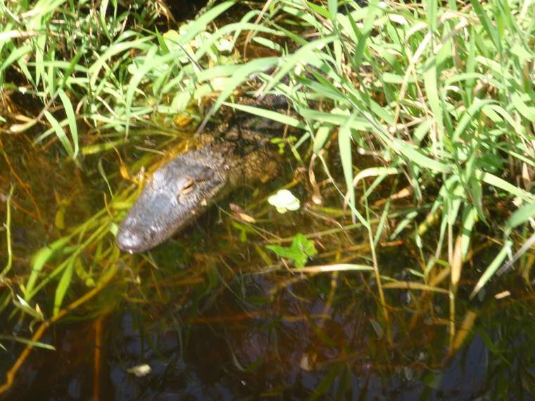 A small alligator hiding in the reeds