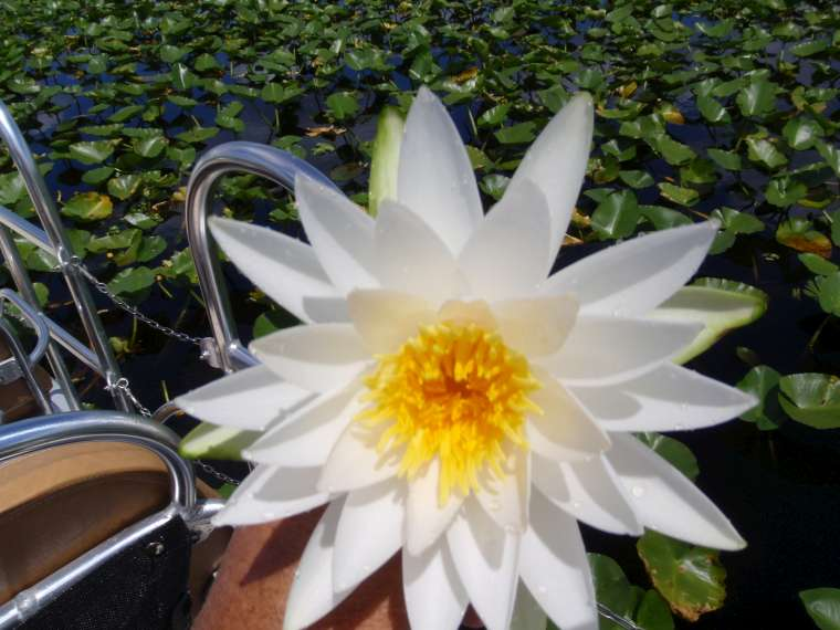 A gorgeous water lily